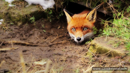 Fox cub peeking out of its den