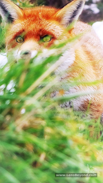 Fox hidden behind grass