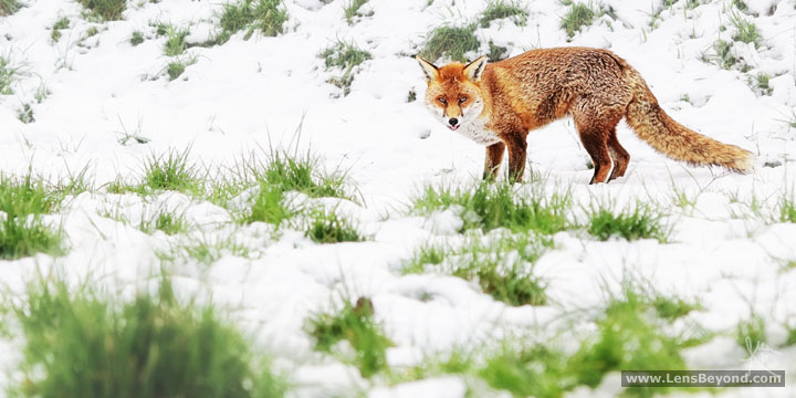 Fox in the snow, licking her tongue out. Photo by Alex Harford
