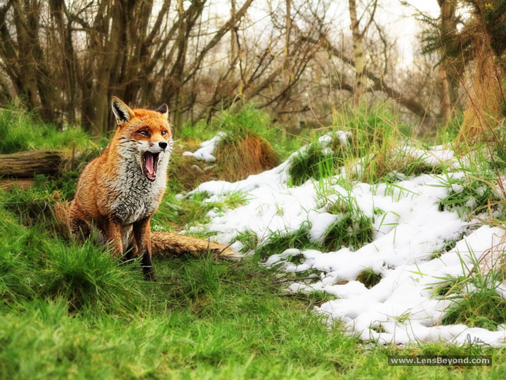 Yawning Fox in the Snow