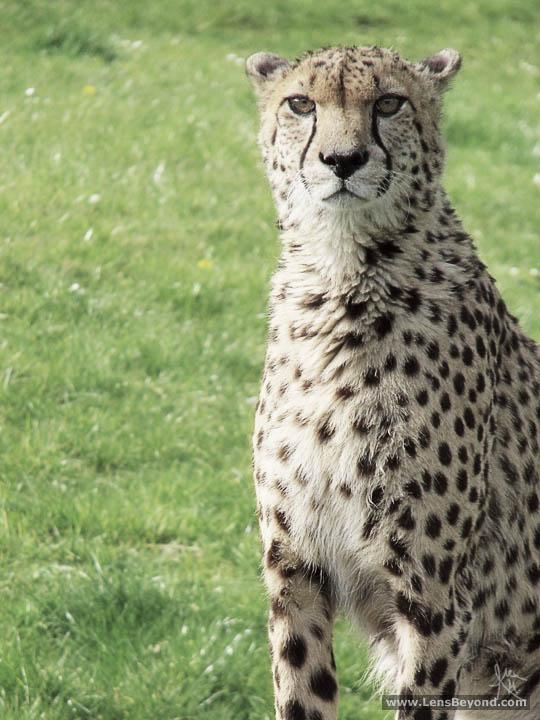 Cheetah sitting, photo by Alex Harford