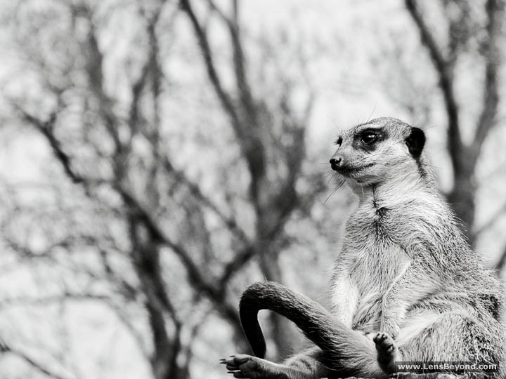 Photo of a meerkat sitting down, black and white