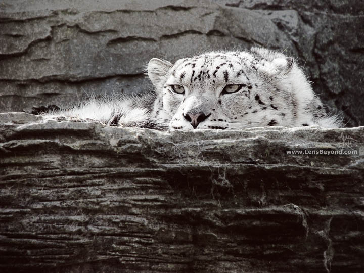 Snow Leopard black and white photo, by Alex Harford