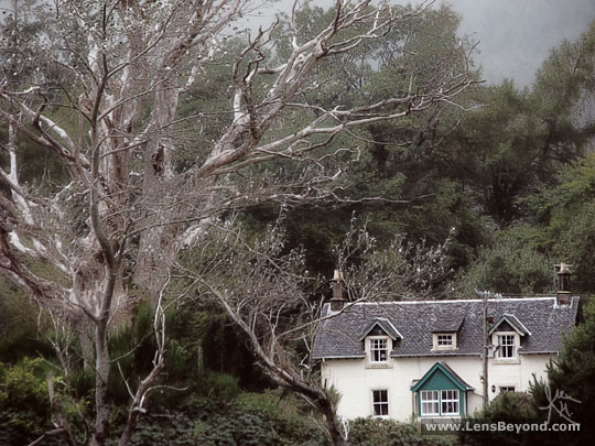 Large tree and house