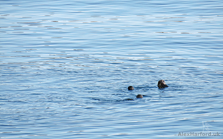 Otters in a blue Loch nan Leachd