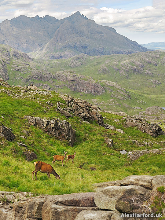Red deer portrait, with the mountainous background of Sgurr nan Gillean