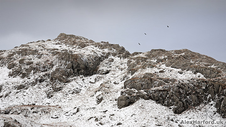 Crows fly above Moel Berfedd's snowy, rocky summit
